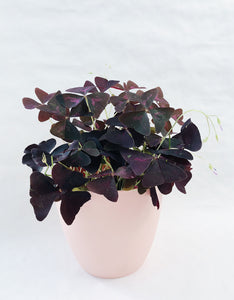 Oxalis triangularis / Šťavel trojhranný