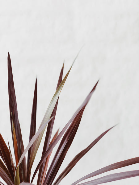 "Cordyline ""Red star"""