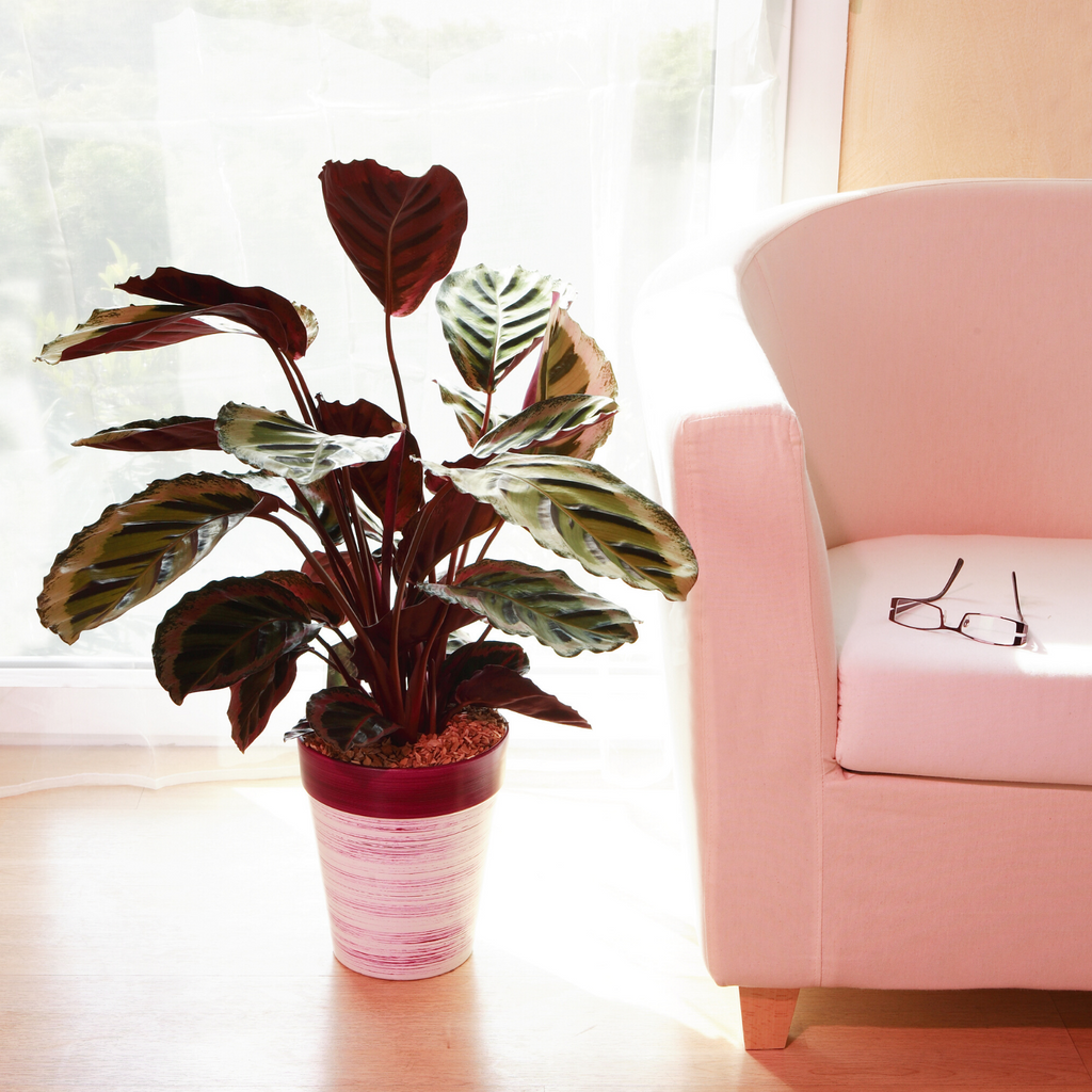 Calathea Care