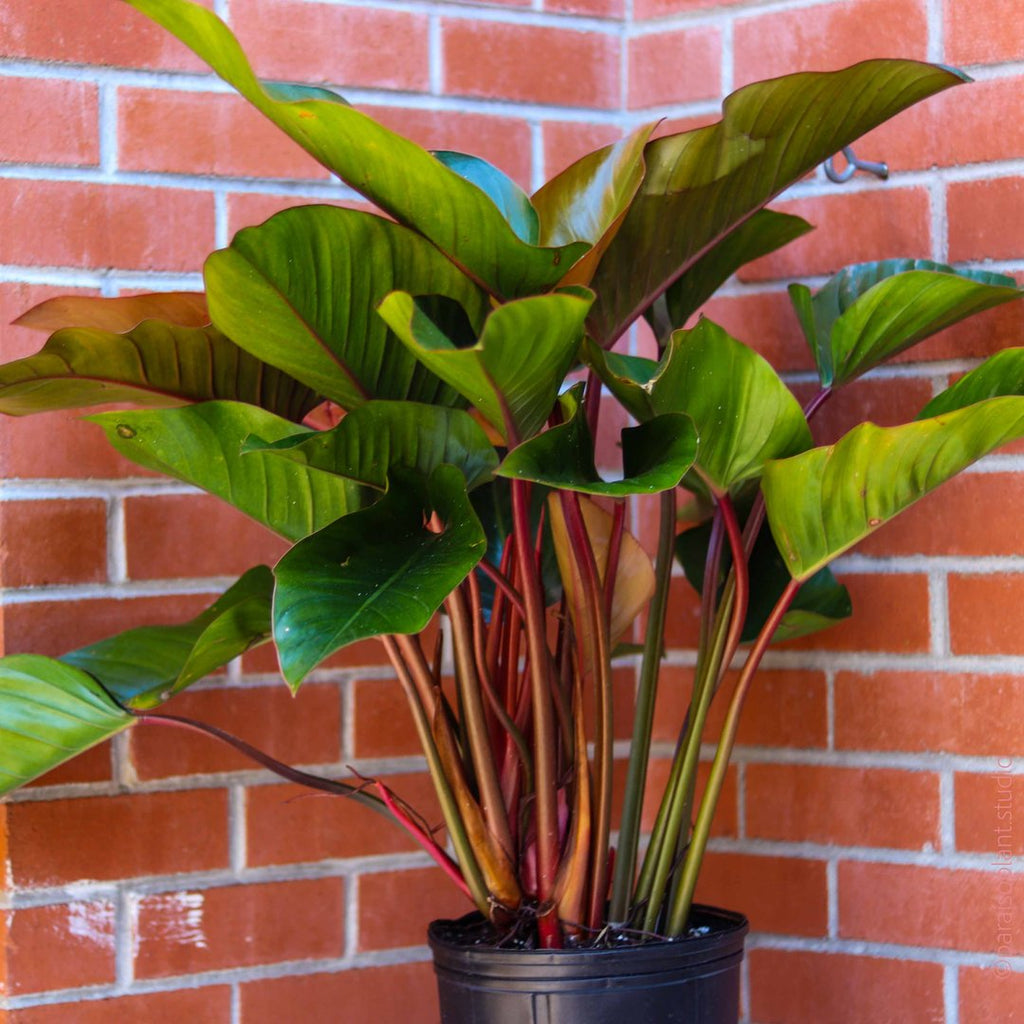 Shop all Philodendron