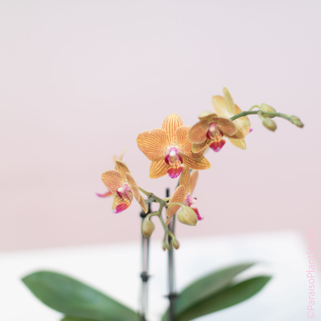 3in Phalenopsis Orchid