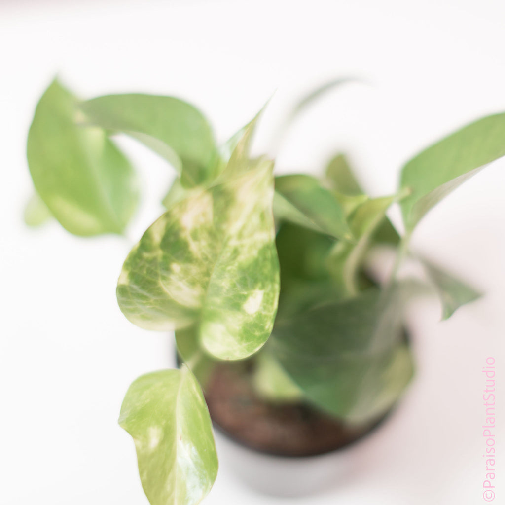4in Golden Pothos