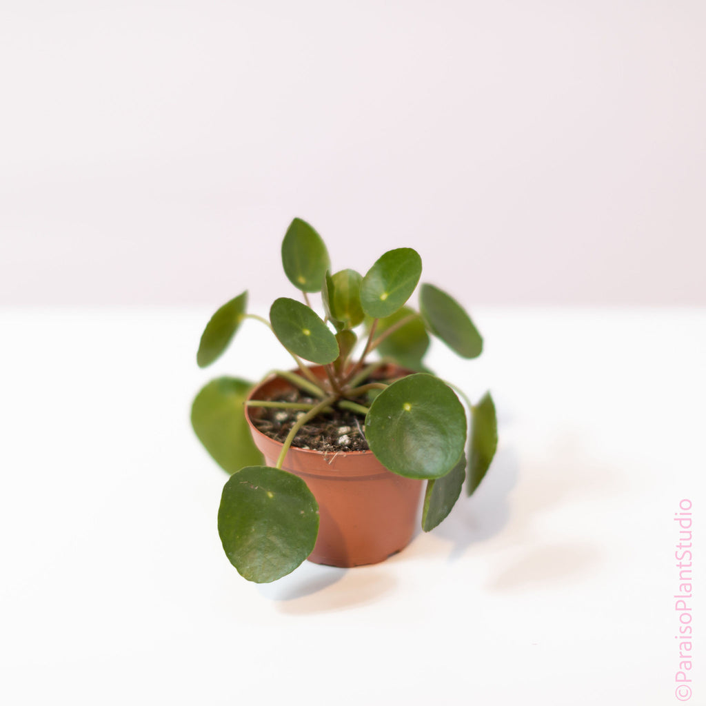 4in Pilea Money Plant