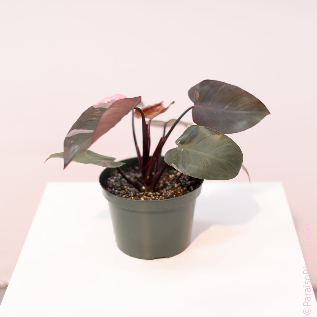8in High Variegation Philodendron Pink Princess