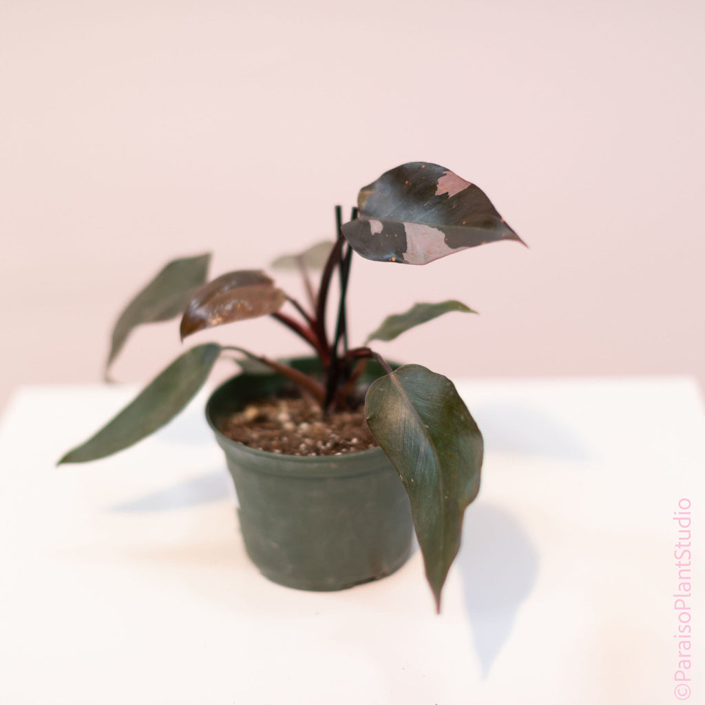 6in Philodendron Pink Princess