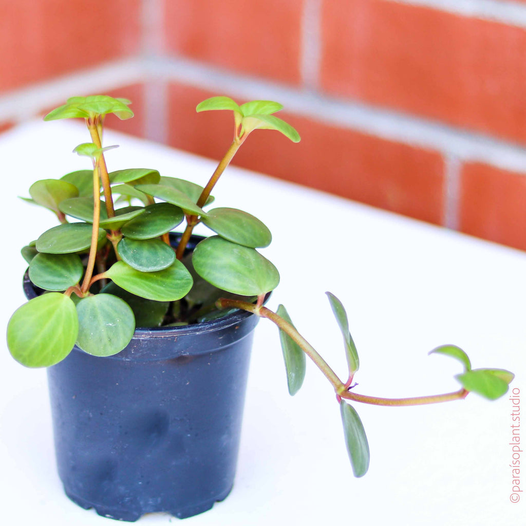 4in Peperomia Hope