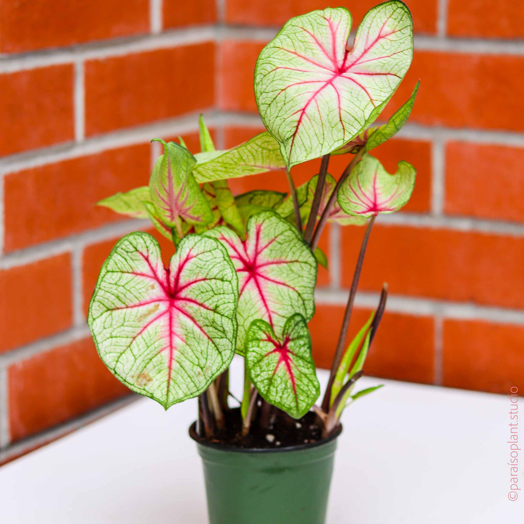 4in Caladium 'Summer Breeze'