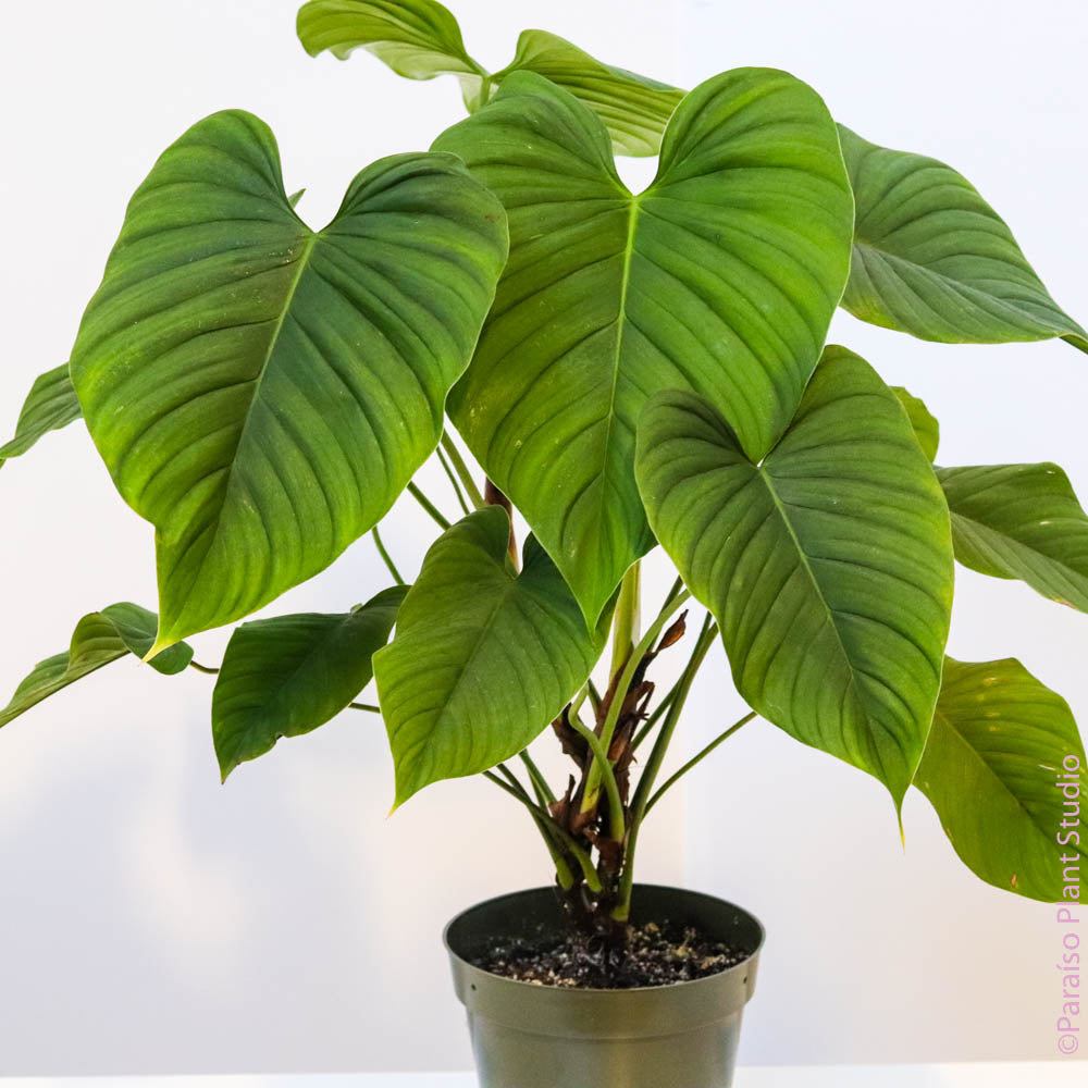 6in Philodendron montanum