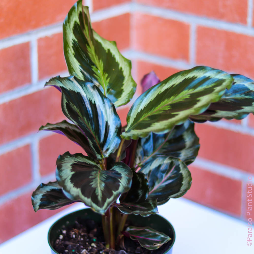 6in Calathea Shining Star