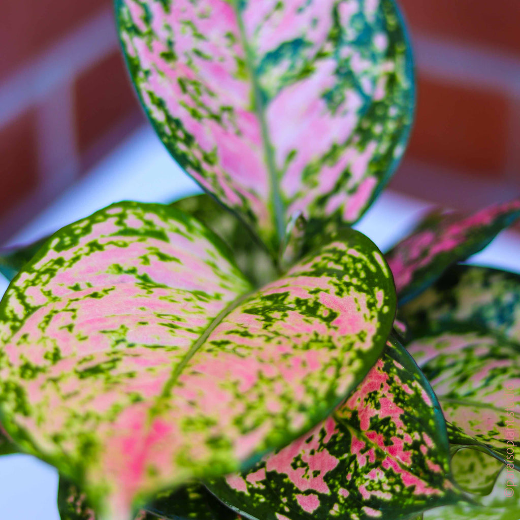 4in Aglaonema Wishes