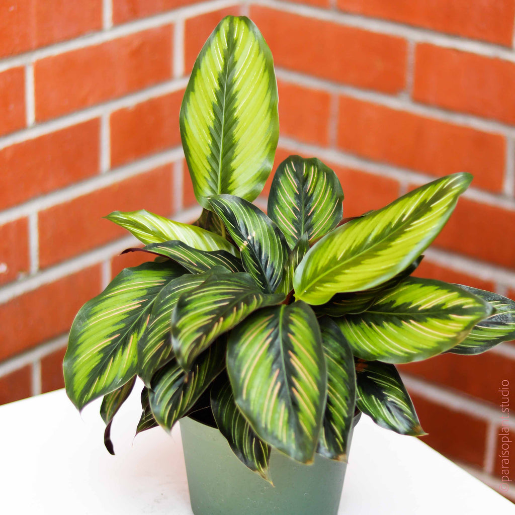 6in Calathea Beauty Star