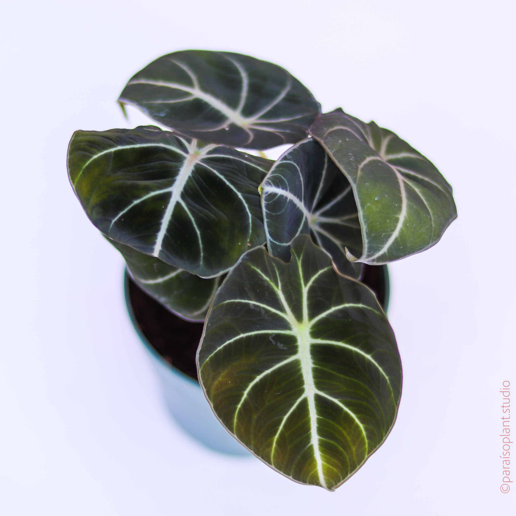 4in Alocasia Black Velvet