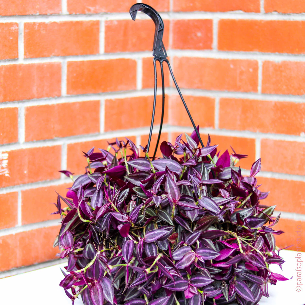 "8in Tradescantia Zebrina ""Deep Purple"""