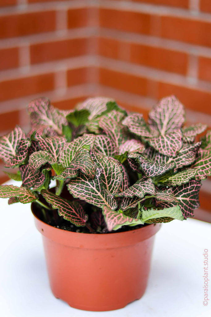 6in Fittonia Pink