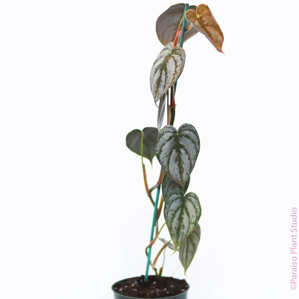 4in Philodendron Brandtianum