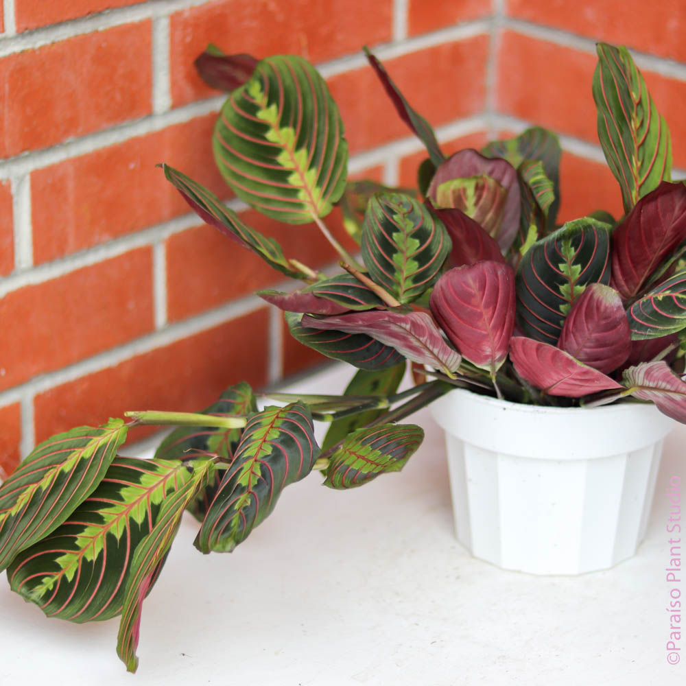 6in Maranta Red
