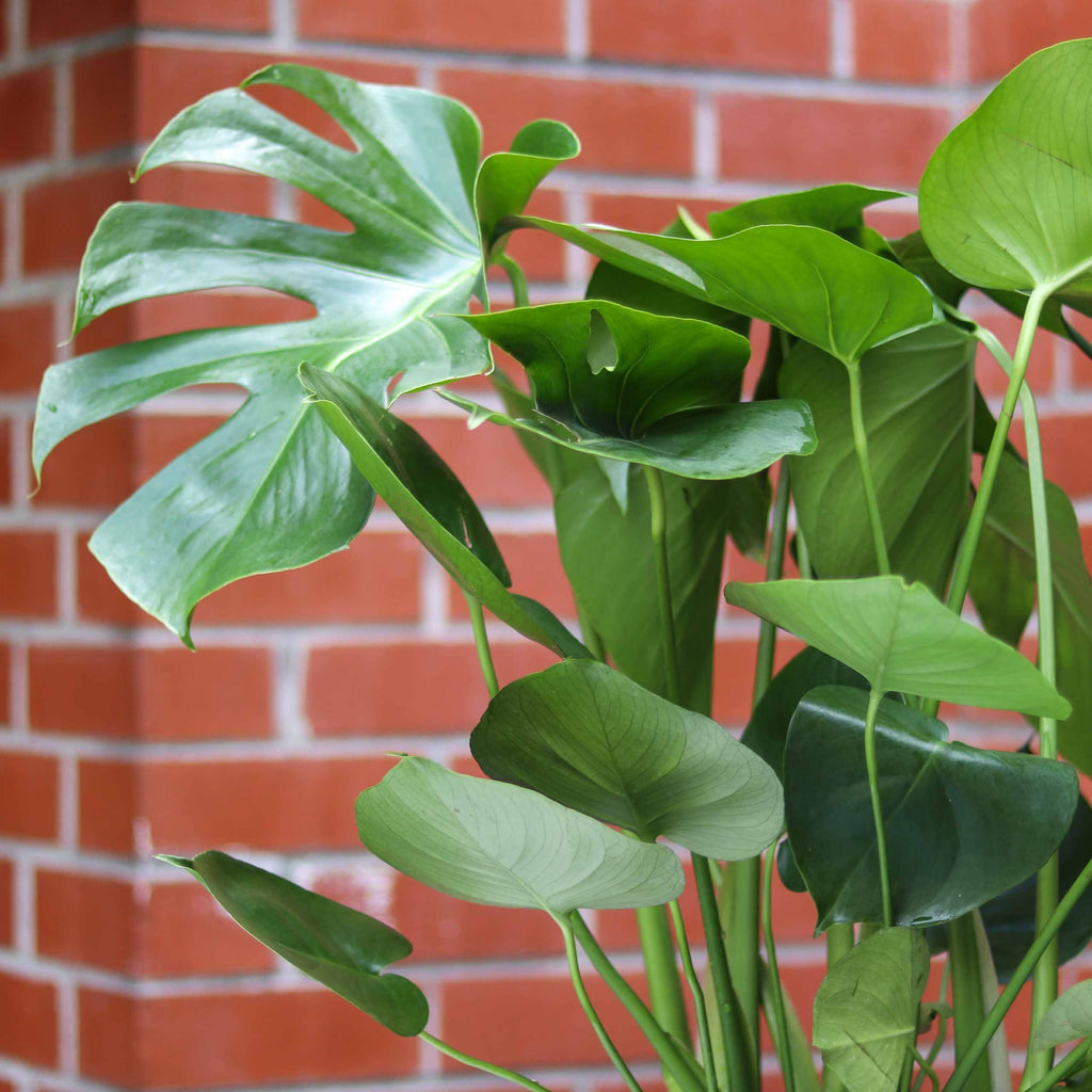 8in Monstera