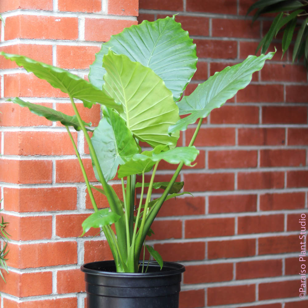 10in Alocasia Gagaena California