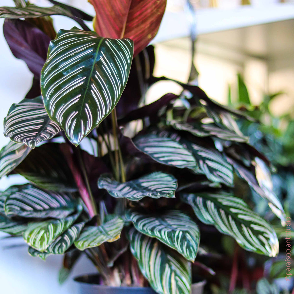 8in Calathea Ornata