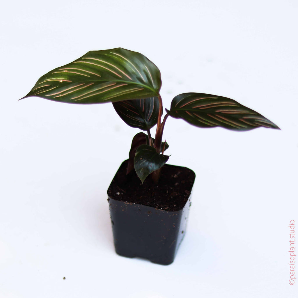 2in Calathea Beauty Star