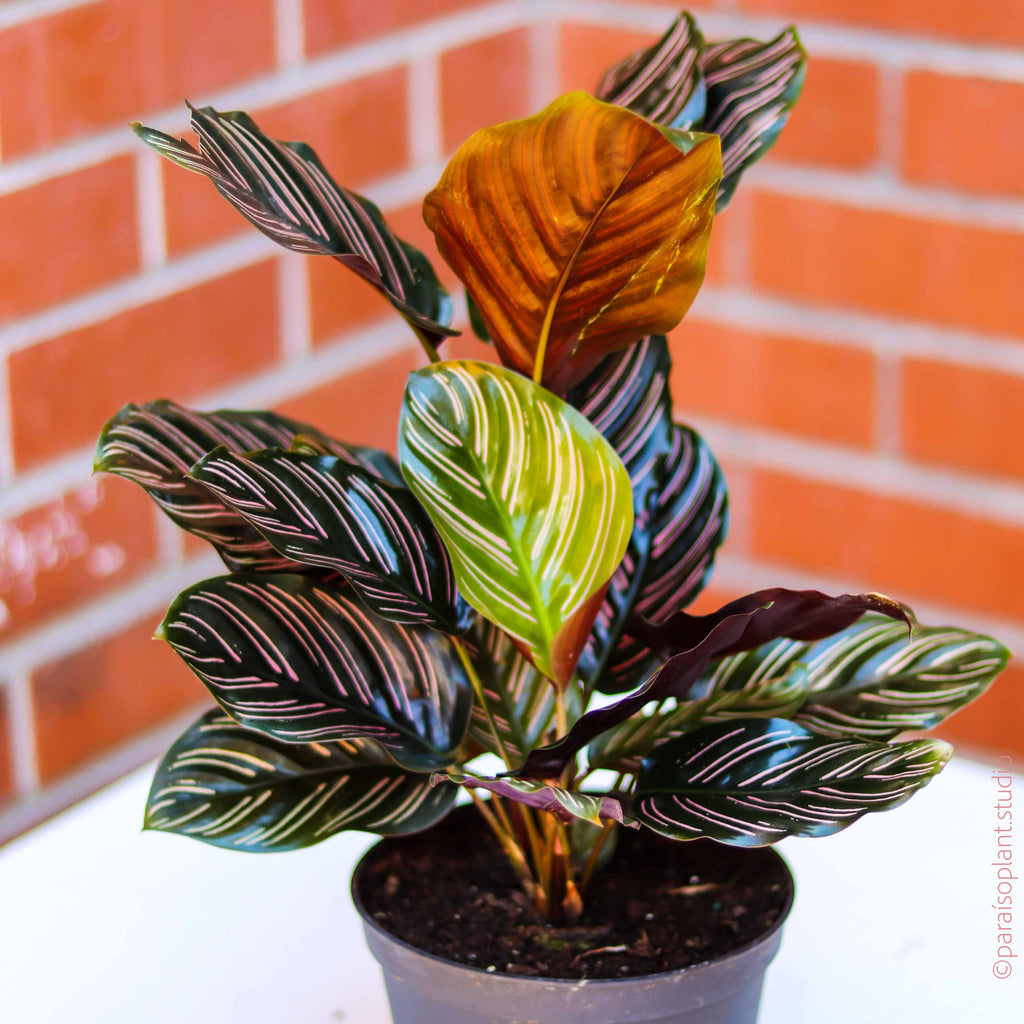 6in Calathea Ornata