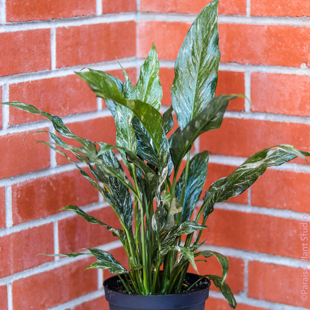 6in Variegated Peace Lily