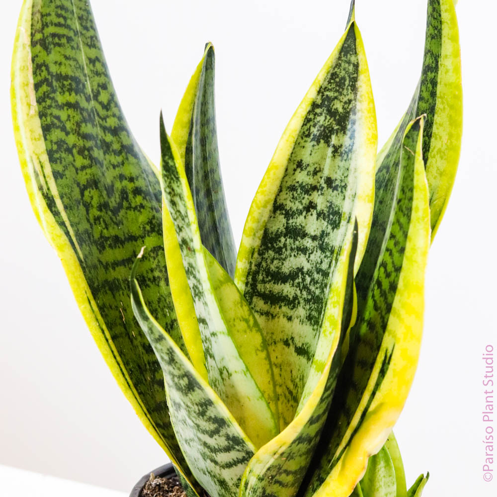 6in Sansevieria Superba