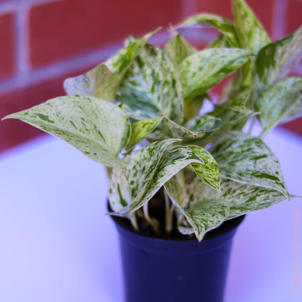 4in Pothos Snow Queen