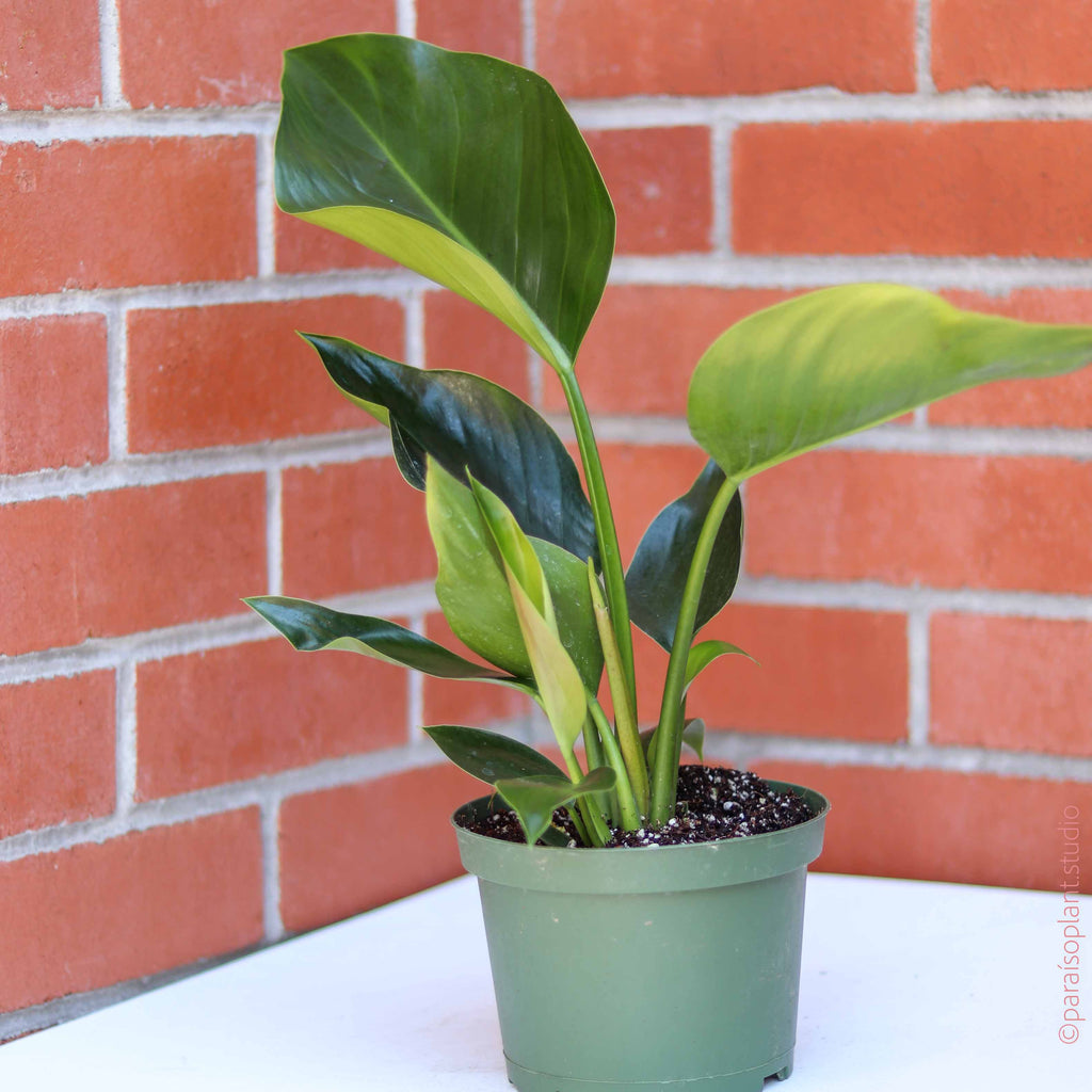 8in Philodendron Congo Green