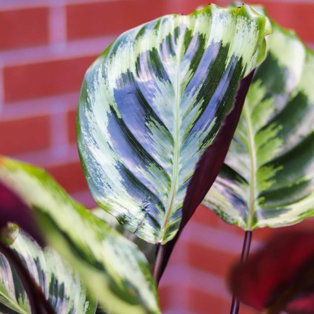 4in Calathea Shining Star