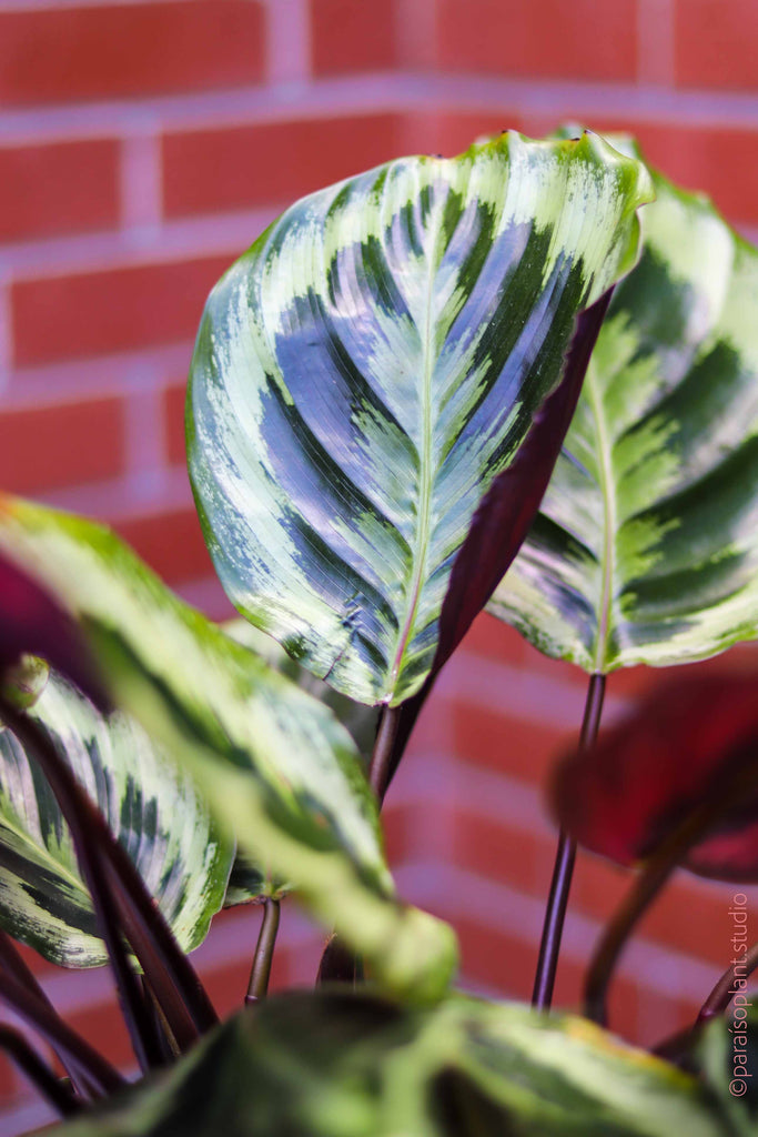 6in Calathea Marion