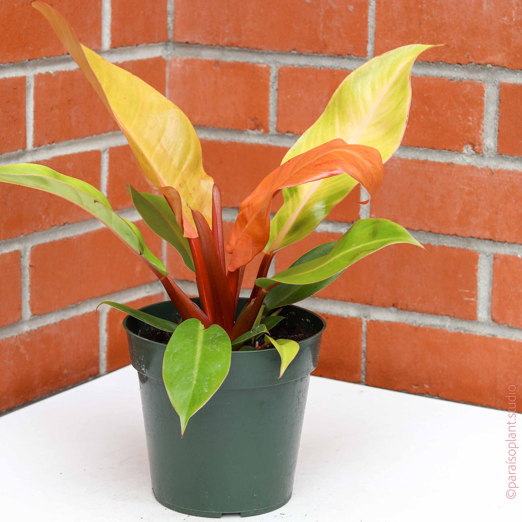 6in Philodendron 'Prince of Orange
