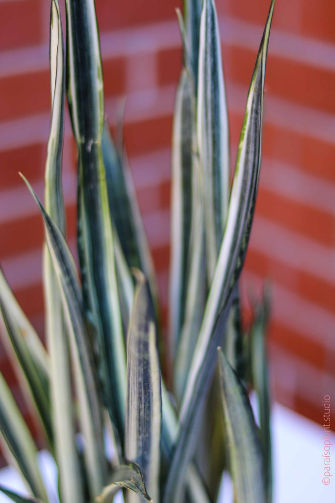 4in Sansevieria Bantels Sensation