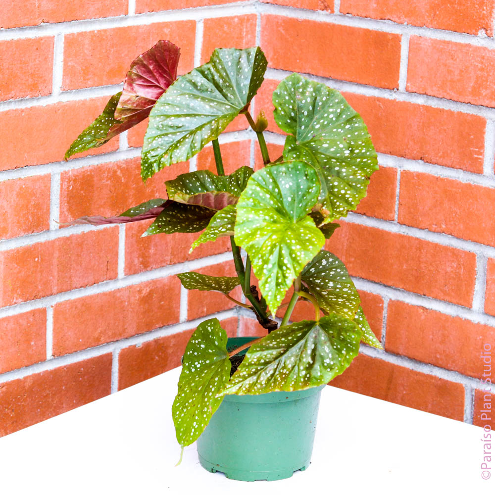 6in Angel Wing Begonia