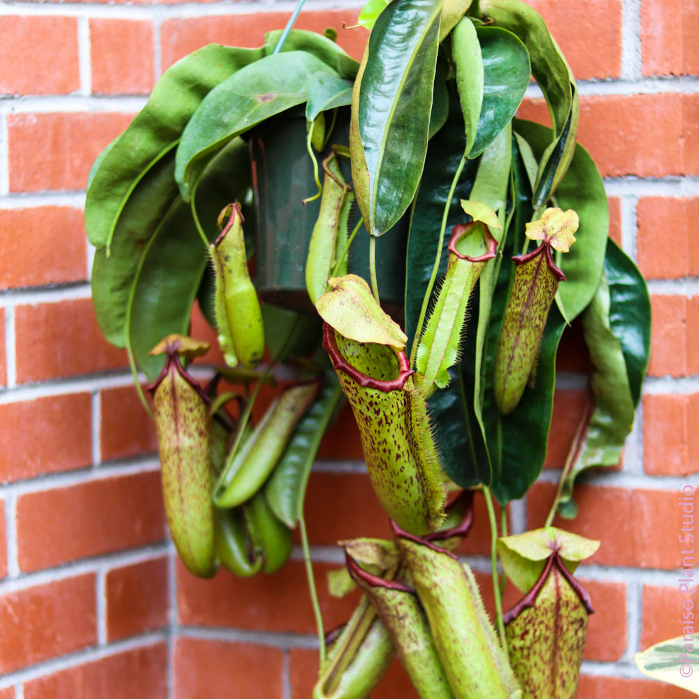 8in Nepenthes Pitcher Plant