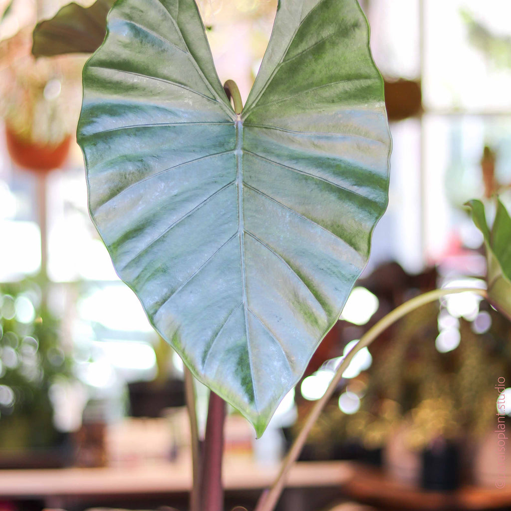10in Alocasia Black Stem