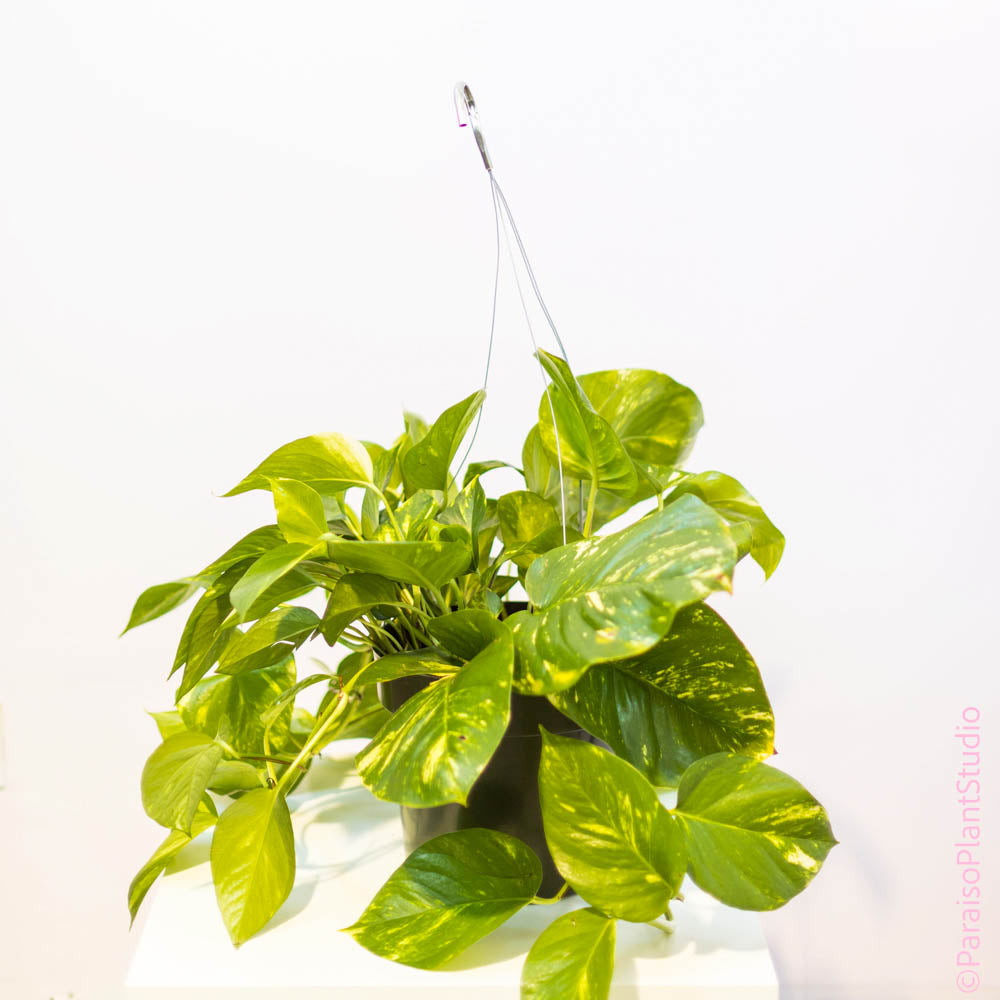 10in Golden Pothos Big Leaf