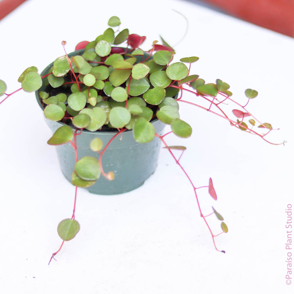 4in Peperomia Ruby Cascade