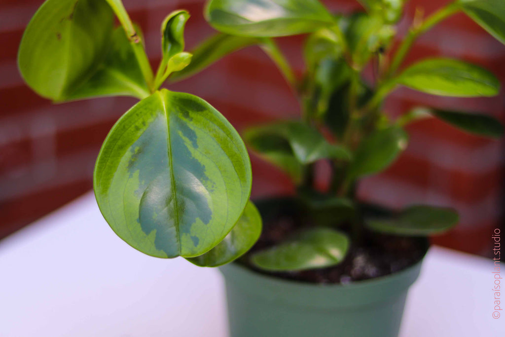 4in Peperomia Obtusifolia Lemon Lime