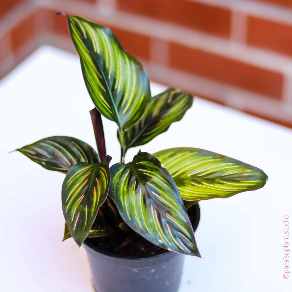4in Calathea Beauty Star