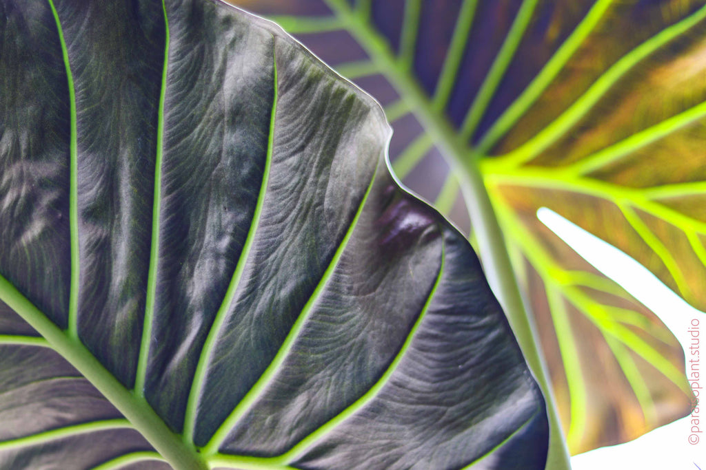 12in Alocasia Regal Shields