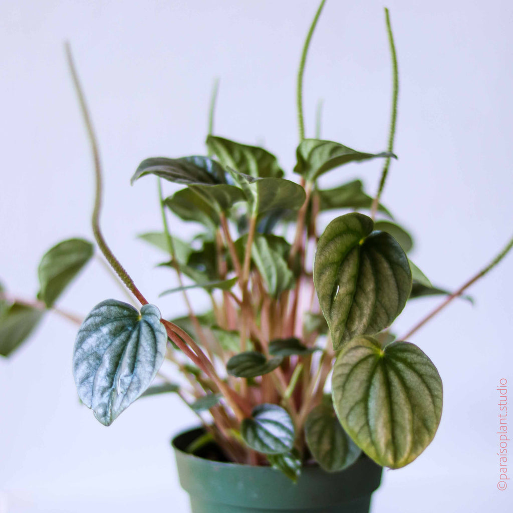 4in Peperomia Frost