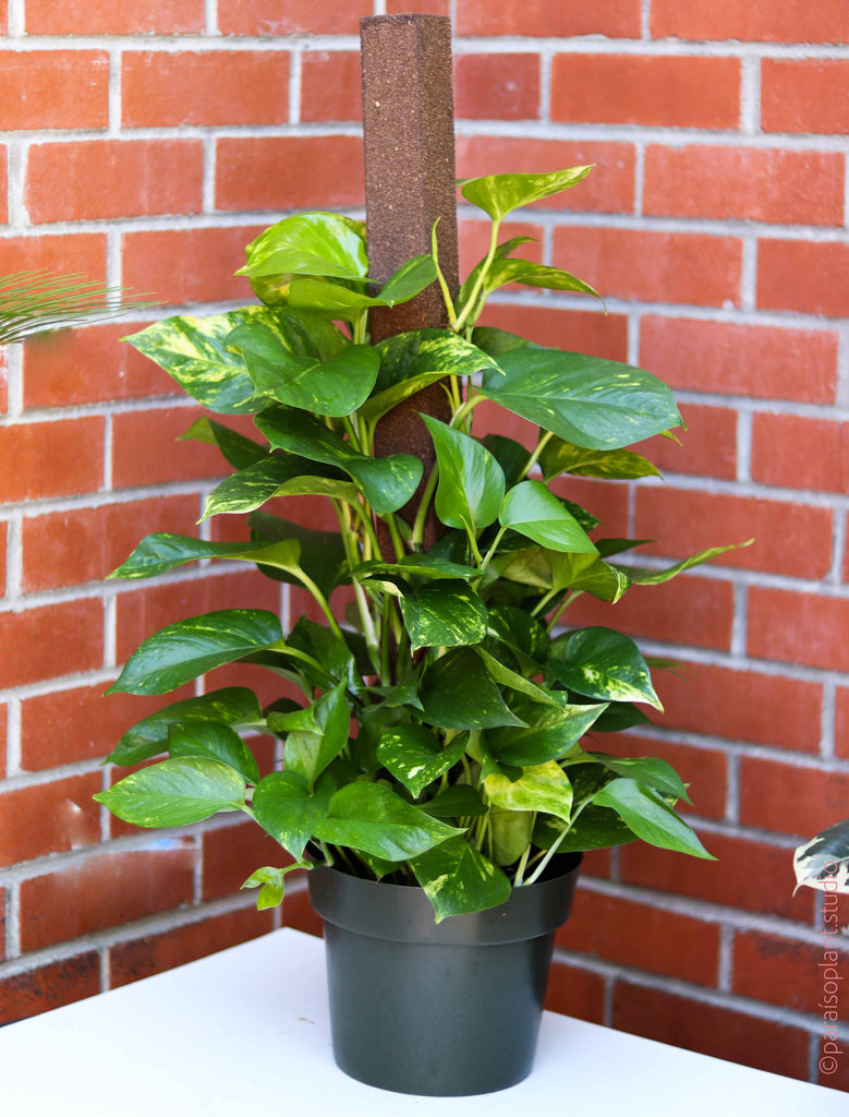 8in Golden Pothos on a pole