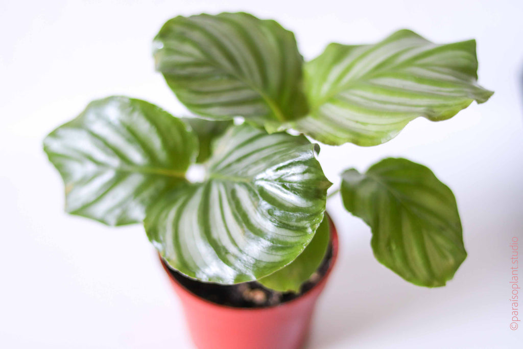 4in Calathea Orbifolia