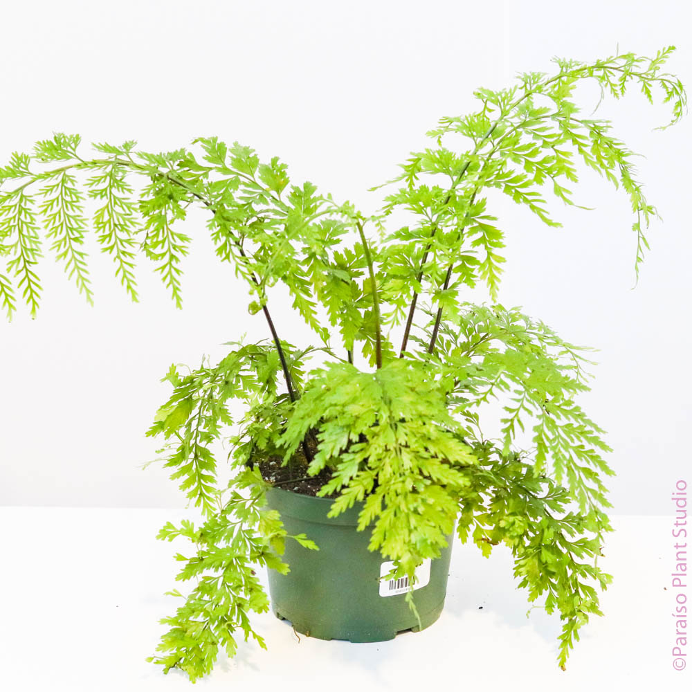 6in Mother Fern