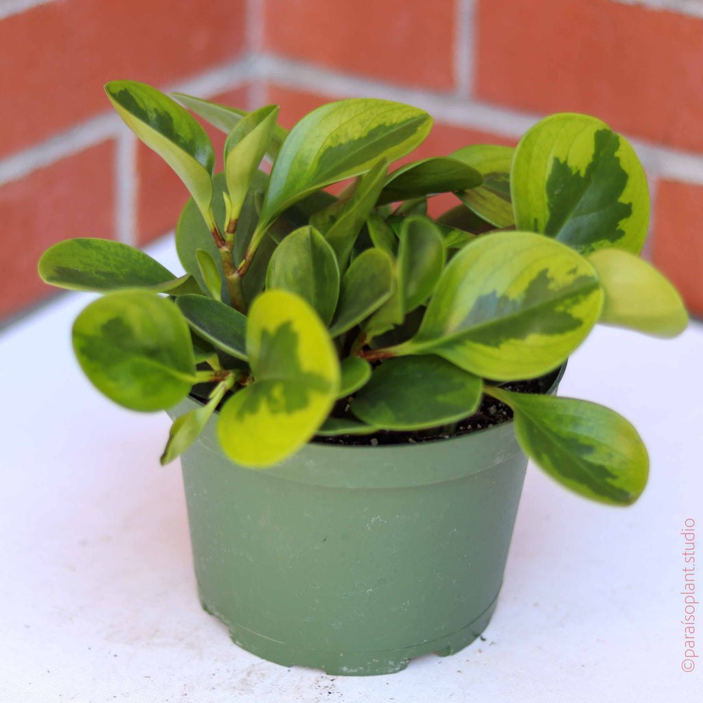 6in Peperomia Obtusifolia Lemon Lime