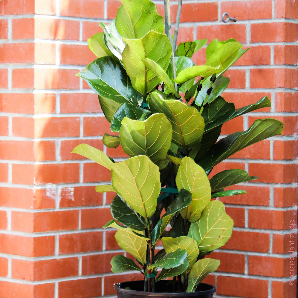 "12in Ficus Lyrata ""Fiddle Leaf Fig"" Column"