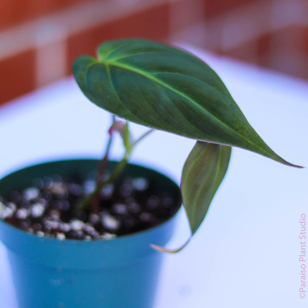 4in Philodendron Micans (young plant)