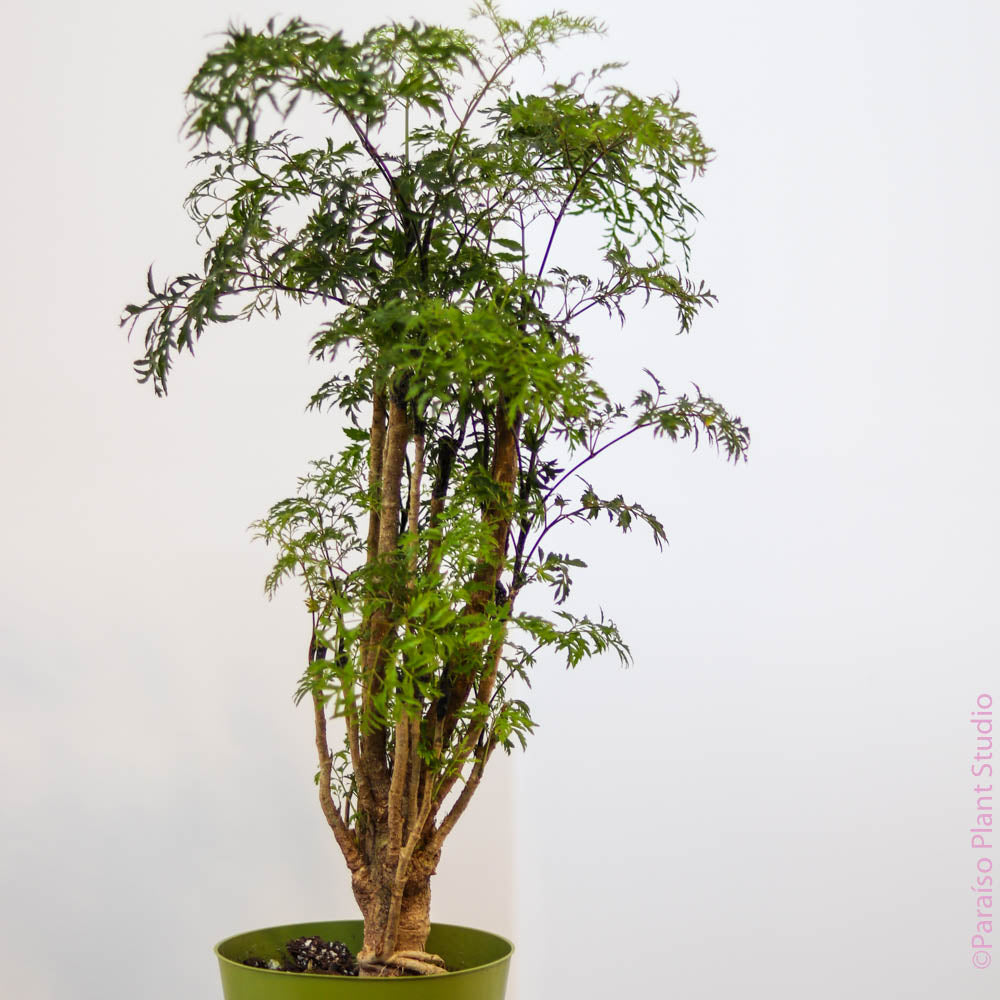 6in Ming Aralia Stump