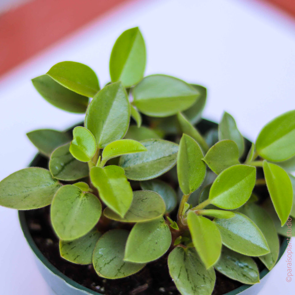 4in Peperomia Pixie Lime